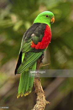 Red-winged parrot, Aprosmictus erythropterus, male, rear view, The Cairns Wildlife Dome, Cairns, Queensland, Australia.