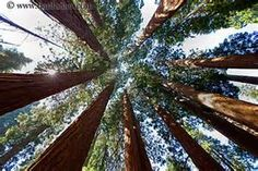 secoya trees - Yahoo! Image Search Results