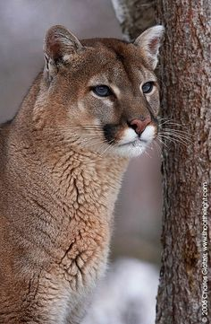 Mountain Lion - Explore the World with Travel Nerd Nici, one Country at a Time. http://TravelNerdNici.com