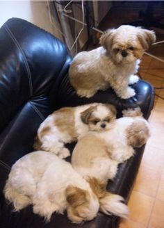 Smart Shih Tzu exercise needs # … – Dog Breeds Ideas Shih Tzu Hund, Perro Shih Tzu, Shih Tzu Puppy, Shih Tzus, Animals And Pets, Baby Animals, Funny Animals, Cute Animals, Funny Cats