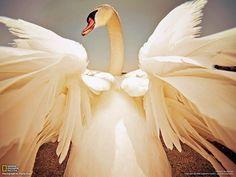 優美に翼を広げるコブハクチョウ(カナダ) | ナショナル ジオグラフィック(NATIONAL GEOGRAPHIC) 日本版公式サイト