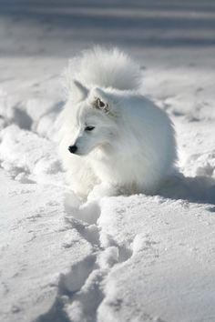 Japanese Spitz Japanese Spitz, American Eskimo Dog, Polar Bear, German, Pets, Animals, Pet Dogs, Deutsch, Animales
