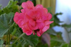 persian queen geranium by Theodoros Tsilikis on 500px