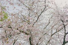 Fukuoka: Ohori-koen - Tricia Will Go Places Cherry Blossom Japan, Cherry Blossom Season, Japan Spring Fashion, Tricia Gosingtian, Filipino Fashion, Sense Of Place, Travel Outfits, Fukuoka, Great View