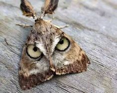 Exhibit A. The emperor moth has large spots, but they don't look like this. The great horned owl has a face remarkably similar to this Photoshopped moth, with the light areas next to the eyes, and the general frowny appearance. Cool Insects, Bugs And Insects, Flying Insects, Beautiful Creatures, Animals Beautiful, Cute Animals, Baby Animals, Beautiful Bugs, Beautiful Butterflies