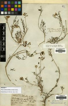 Specimens collected by Charles Darwin on the Voyage of the Beagle, Bahia Blanca, July 1, 1831. Filed as Astragalus carinatus (Hook. & Arn.) Reiche [family LEGUMINOSAE]