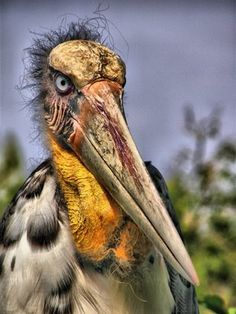 The Greater Adjutant Stork is on the IUCN red list of the most endangered birds in the world. The bird sanctuary near Guwahati is rapidly turning into a garbage dump. The stork stands about 5 feet tall Kinds Of Birds, Love Birds, Beautiful Birds, Rare Animals, Funny Animals, Unique Animals, Flightless Parrot, Scary Birds, Prehistoric Creatures