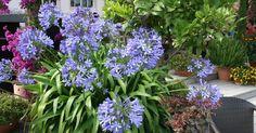 Die blauen oder weißen Blütenbälle des Agapanthus zieren im Sommer Balkone und Terrassen. Mit diesen Tipps bleibt die pflegeleichte Kübelpflanze in Blühlaune und wird fachgerecht überwintert.
