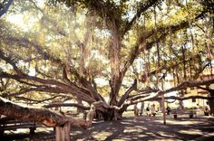 Banyan Tree - Lahaina, Maui, by Munir Bucair Maui Travel, Hawaii Vacation, Vacation Places, Vacations, Hawaii Life, Aloha Hawaii, Places Around The World, Oh The Places You'll Go, Wonderful Places