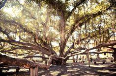 Banyan Tree - Lahaina, Maui, by Munir Bucair