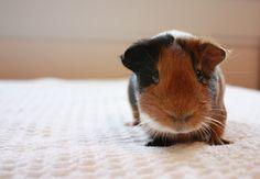 Guinea pig. tasty for dinner ;p