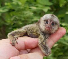 Cutest thing in the world: World Smallest Monkey Pygmy Marmoset or Finger Monkey! Marmoset Monkey, Pygmy Marmoset, Tiny Monkey, Cute Monkey, Cute Baby Animals, Animals And Pets, Funny Animals, Animal Babies, Small Animals