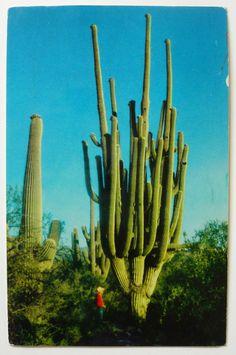 Incredible cactus on a vintage postcard