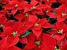 Growing & Changing Through Christ: The Legend of the Poinsettia