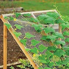 a way to grow cucumbers , not sitting on the ground ... JAMLADY out of Ludington,  Michigan
