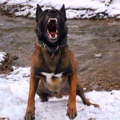 German Malinois, Black Belgian Malinois, Malinois Shepherd, Belgian Malinois Training, I Love Dogs, Cute Dogs, Dressage, Military Working Dogs, Belgian Shepherd