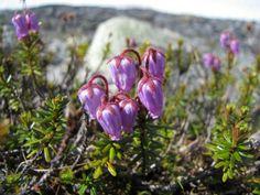 Blue mountainheath (Phyllodoce caerulea). Pallas-Yllästunturi National Park, Lapland of Finland. - Tunturikurjenkanerva.  Photo: Ave / Luontoon.fi
