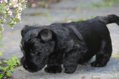 that Scottie is so cute I can hardly stand it!!!!!
