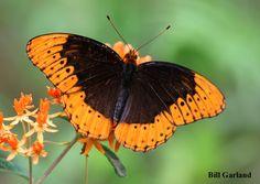 Mountain Longleaf National Wildlife Refuge - Diana Fritillary Butterfly