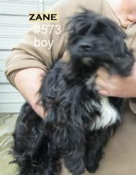 #W.VIRGINIA ~ URG'T ~  Zane is an #adoptable #ScottishTerrier #Scottie #Dog in #Logan. In extremely hostile pound in Logan County WV. Advocate group SAFE is trying to get as many animals to rescue as possible. PTS days are on Tuesday each week. Very very bad conditions in pound. Volunteers are allowed in only two hours per week to bathe, clean, feed, take pictures of them. Sorry information is limited on the animals. Please contact logancountyanimals@gmail.com or call 304-945-7827