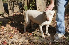 Kingwood, TX Patrick's estimated birth date is 7/30/03. He is deaf and needs special attention from someone with experience with Pit Bull Terriers. He ha...