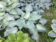 'Natalie' -M, Green leaves with misted centers. It looks very similar to 'Guardian Angel' but mound and leaf size is slightly smaller at maturity. Originator stock, fairly rare and only occasionally offered. Named by Bill Silvers for his daughter, who has now taken over their Hosta nursery.