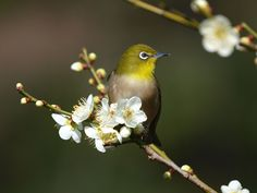 野鳥写真・メジロの写真