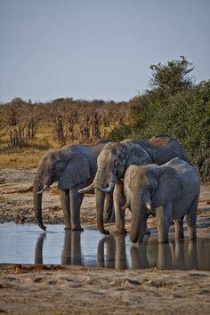Elephants in Chobe National Park - Botswana Wild Animals Photography, Elephant Photography, Chobe National Park, National Parks, Animals And Pets, Cute Animals, The Lion Sleeps Tonight, Save The Elephants, Elephant Love