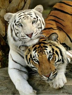 Best Friends Forever White Tiger and Bengal Tiger Animals And Pets, Funny Animals, Cute Animals, Wild Animals, Cute Endangered Animals, Baby Animals, Jungle Animals, Beautiful Cats, Animals Beautiful
