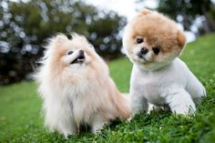 ^I keep telling Brandon that gizmo wants a brother. asking him for a new puppy like Boo (on the right)
