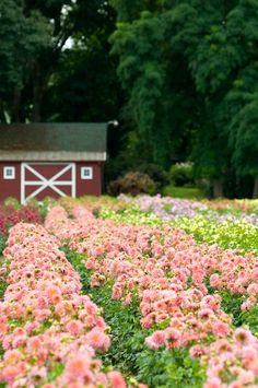 The Swan Island Dahlia Festival in Canby, OR - August 27 - Sept 5 Portland, Champs, Flower Festival, Dahlia Flower, Farms Living, Red Barns, Farm Gardens, Flower Farm, Cut Flowers