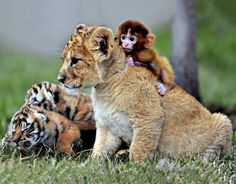 Wish everything in life was this sweet! Little monkey, lion and two tigers hanging out like good friends...