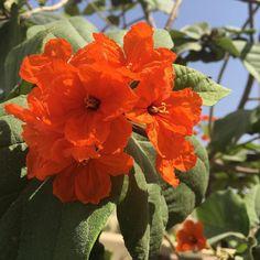 #flowertree #orangeflower #flowers #MyDubai #dubaiart #dubai #fadiradi #sun_after_rain #gardenlove #gardenmagic #gardendesign #diygarden #diygardendesign #Mudon_Villas #Mudon #dp #dubaistyle