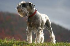 Nós, os Cachorros - No Japão: Raças de Cachorro: Schnauzer