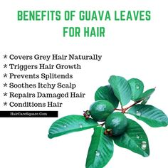 Book How To Do The Guava Leaves Treatment For Hair Loss & Hair Growth? Wedding Dress Fashion For 200 Guava Leaves For Hair, Guava Benefits, Fruit Benefits, Best Hair Conditioner, Natural Hair Loss Treatment, Hair Treatments, Covering Gray Hair, Damaged Hair Repair, Hair Loss Remedies