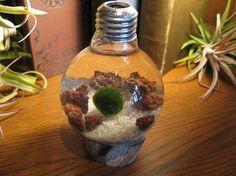 Underwater Terrarium with living Japanese Moss Ball. Marimo, Terrarium, Underwater, Succulents, Fish Tanks, Japanese, Aquariums, Light Bulb, Bottles