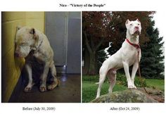 This is the story of Nico. Nico is a Dogo Argentino who was rescued from the LA County Animal Shelter. For most dogs, especially those in a high-kill shelter, that would've been the end of them. But for Nico, that was … Love My Dog, Puppy Love, Pit Bull Mix, Pit Bull Love, Humane Society, Rescue Dogs, Animal Rescue, Shelter Dogs, Deaf Dog