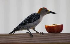 Golden-fronted Woodpecker(Melanerpes aurifrons) photographed by aaron1956 in south Texas on 29th May 2014. Resident from southwestern Oklahoma and central Texas down through Mexico and all of northern Central America to Nicaragua.