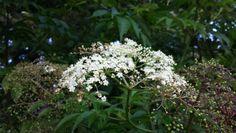 Wild elder berry blooms