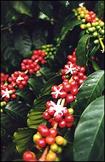 Kona coffee is not just another specialty coffee or gourmet coffee.  Learn about Kona coffee and what makes these coffee beans second to none.