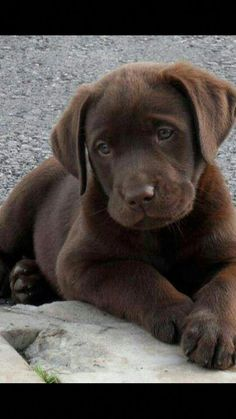 Lab Puppies Exceptional chocolate labrador detail is readily available on our internet site. Have a look and you wont be sorry you did. Cute Puppies, Cute Dogs, Dogs And Puppies, Doggies, Labrador Retrievers, Chocolate Labrador Retriever, Retriever Puppies, Beautiful Dogs, Animals Beautiful
