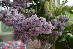 These are French lilacs  is actually considered one of the best French hybrids. Bud color is a striking  purple, opening to reveal double magenta-hued blooms with a strong fragrance. May 2017
