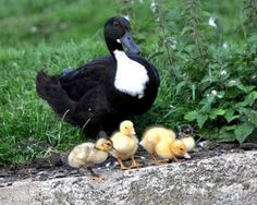 Black Swedish Ducks Barnyard Geese Ducks Turkeys Etc Pinterest Ducks And Black