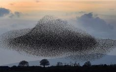 Starlings on sunset