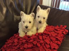 Purebred White West Highland Terrier Puppies For Sale,For more infos text us now ONLY on the number 513 x 549 x 0498 Each Puppy Cost a fee of $400 . well trained with kids and other home pets .