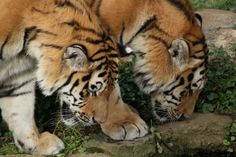 Two young male Siberian tigers at the Leipzig Zoo in Germany