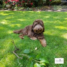 40 Best Colorful Doodles Images In 2020 Labradoodle