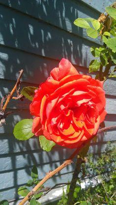 Texas rose. Morning walk.