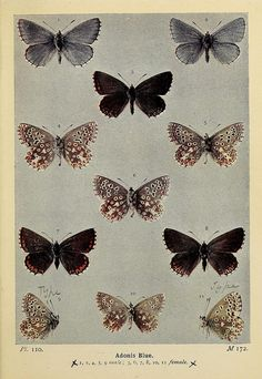 dendroica:  Adonis Blueby BioDivLibrary on Flickr.  The butterflies of the British Isles. London :F. Warne,1906..