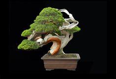 """樹齢250年 イブキ(伊吹)/鉢:常滑焼 via """"Fine Bonsai  Art and Nature"""" by Jonathan Singer"""